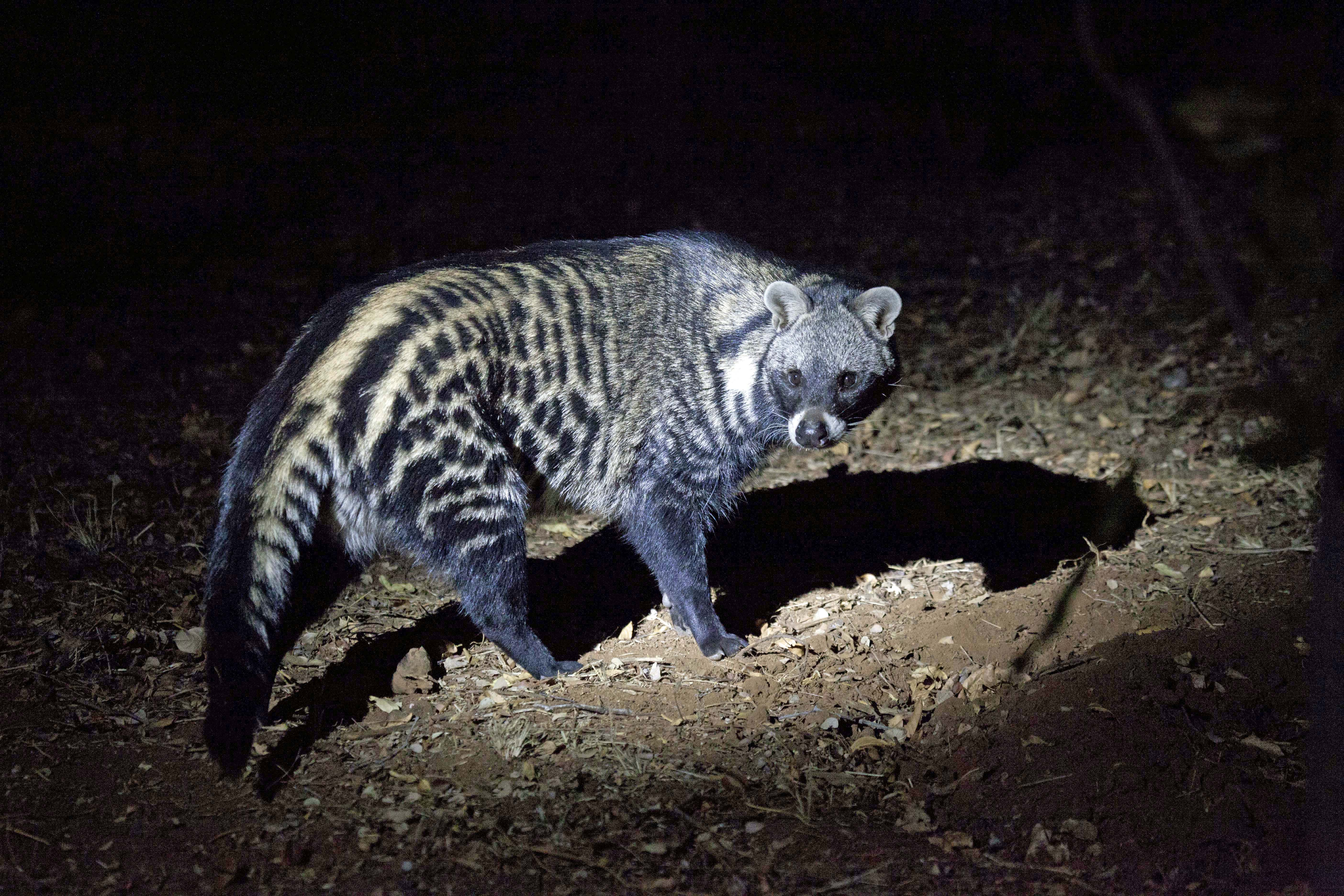 The African civet is an omnivorous generalist