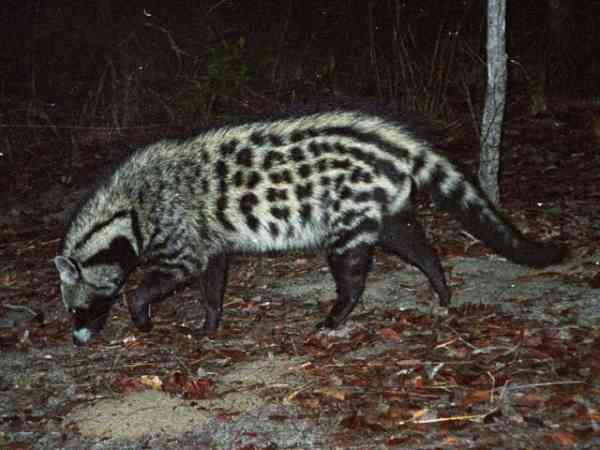 The African civet is the largest representative