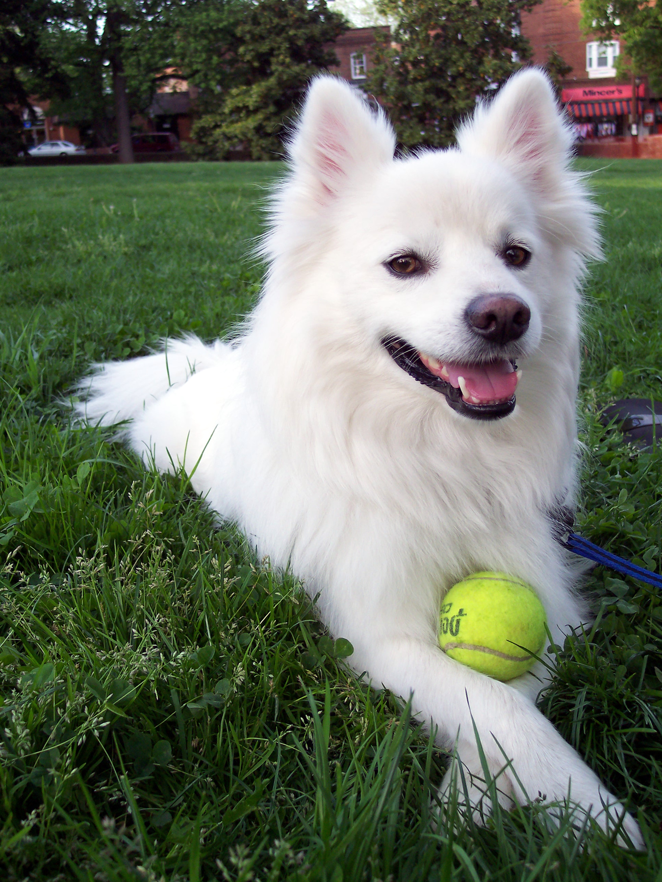 The American Eskimo Dog makes a beautiful