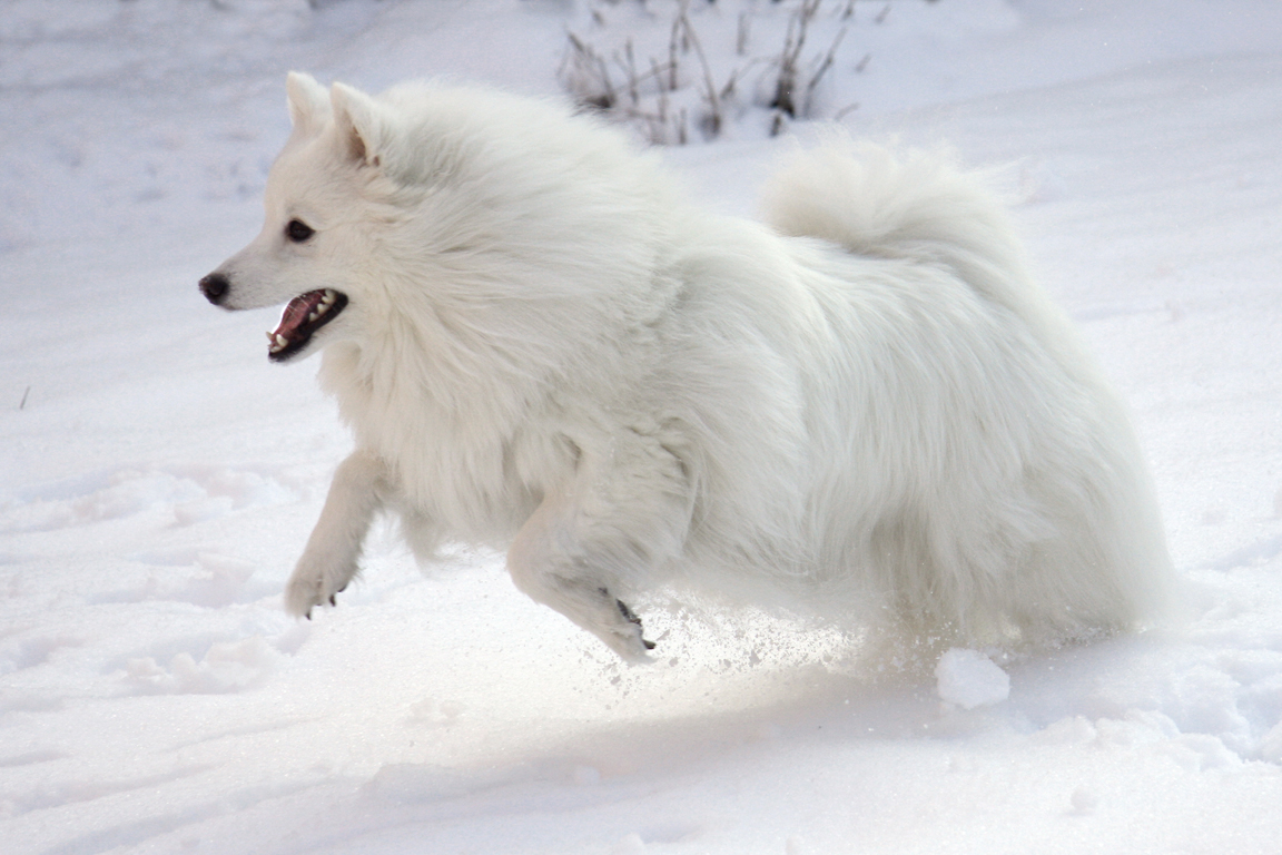 The American Eskimo Dog