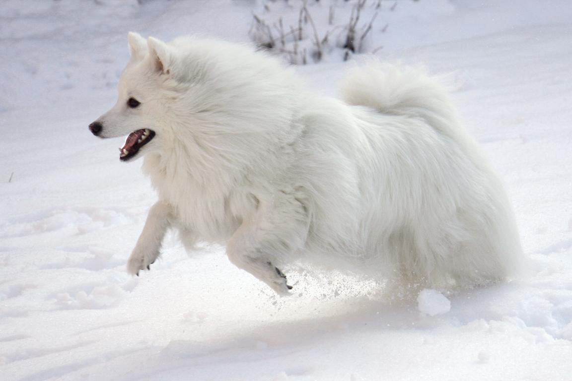 Dog Names Japanese Spitz