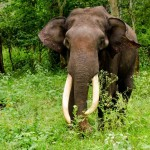 The Indian elephant (Elephas maximus indicus) is one of three recognized subspecies of the Asian elephant and native to mainland Asia. - 234665
