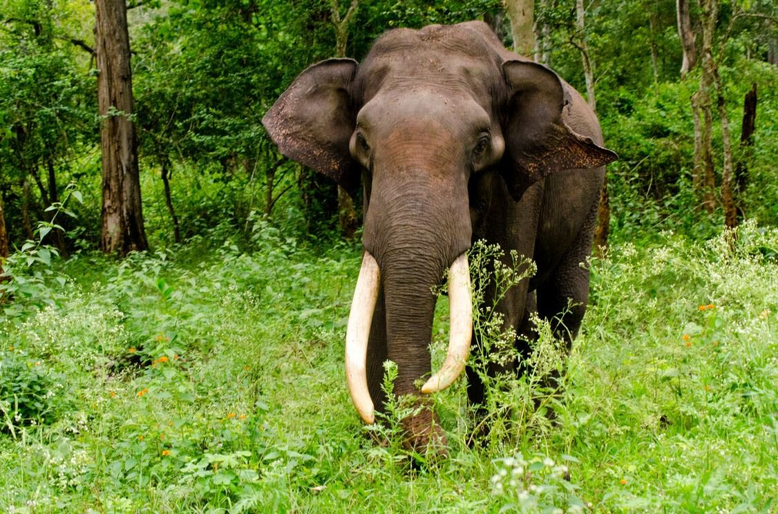The Indian elephant (Elephas maximus indicus) is one of three recognized subspecies of the Asian elephant and native to mainland Asia.