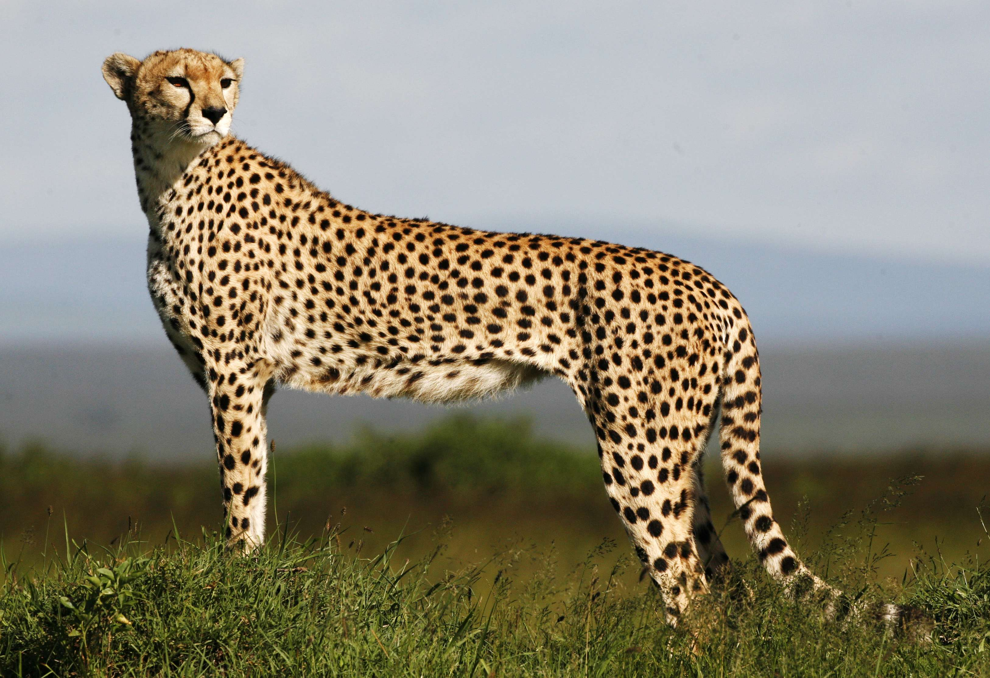 A cheetah observes on the plains of Masai Mara game reserve in this file photo