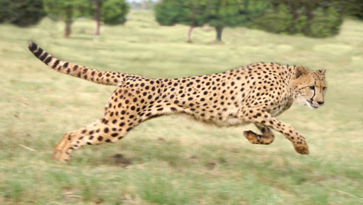 The cheetah is the world's fastest land mammal