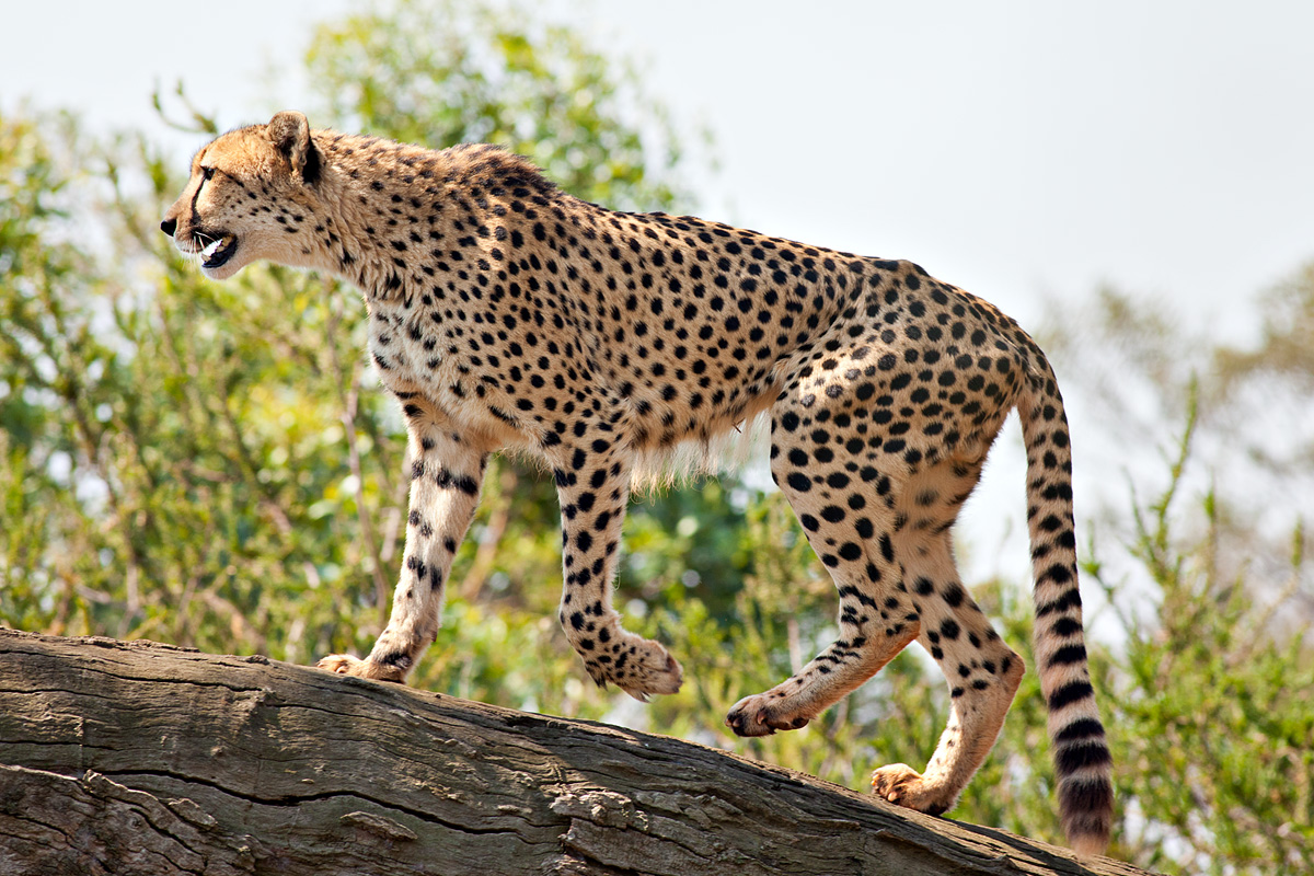 The cheetah likely evolved in Africa during the Miocene epoch (26 million to 7.5 million years ago)