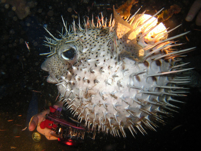 The porcupine fish's
