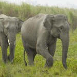 Two young Indian elephants - 234668