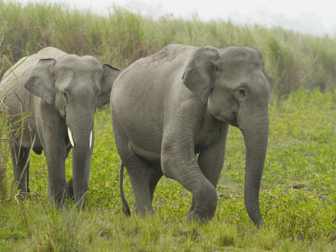 Two young Indian elephants