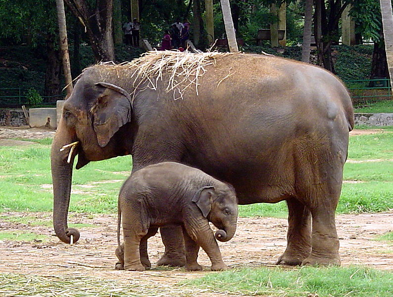 View original size and un-cropped version of indian elephant