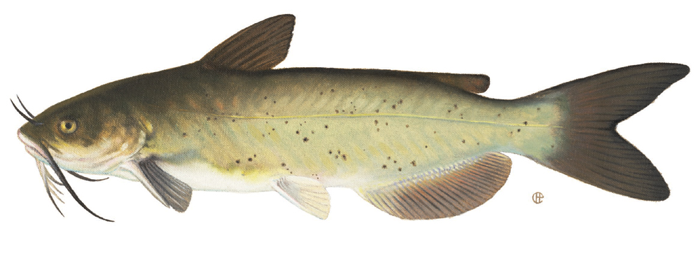 Different Catfish species have varied feeding habits