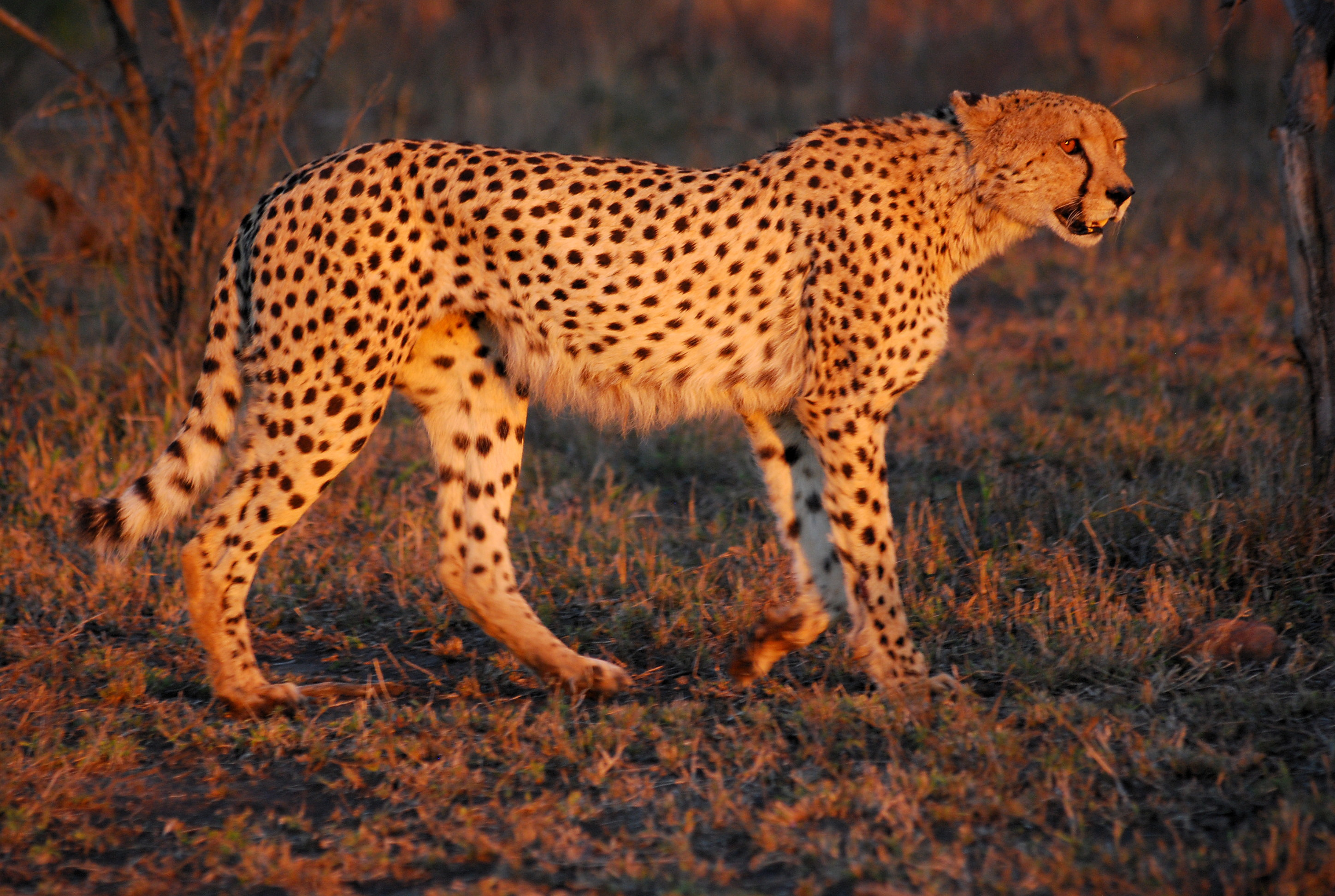 cheetahs use their tail to steer