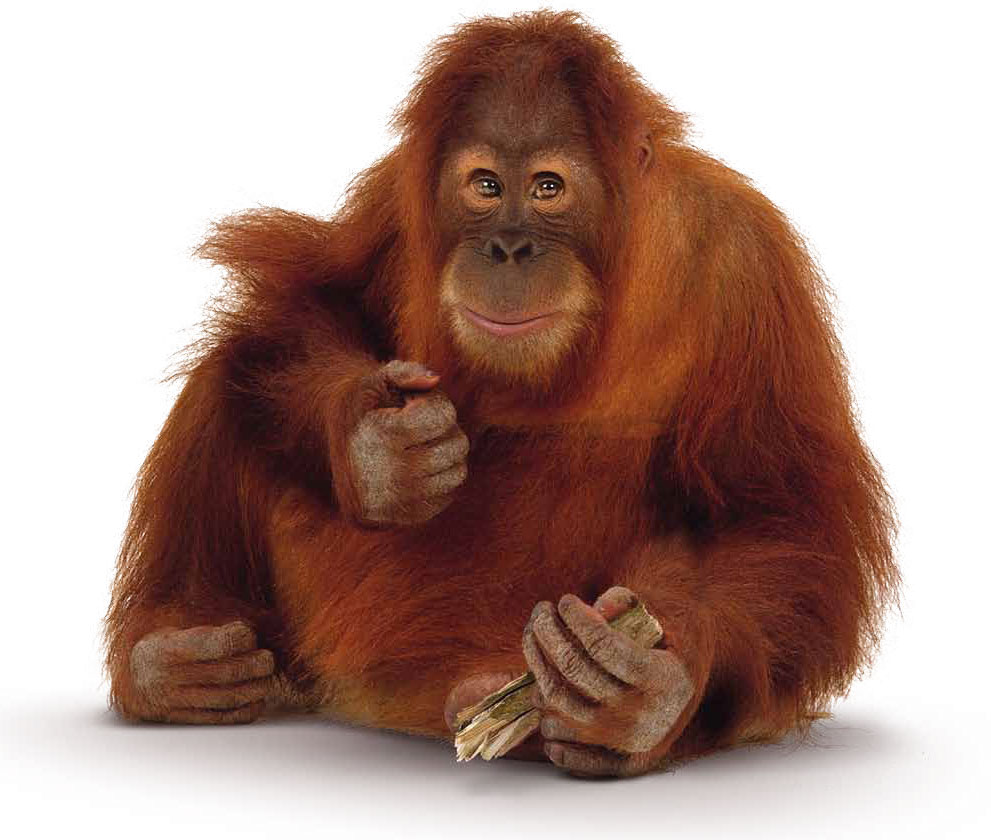 orangutan are the two exclusively Asian species of extant great apes