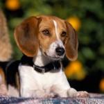 معلومات عن كلب صيد الثعالب الأمريكي
