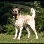 """كلب الراعي الاناضول """" كلب الحراسة التركي """""""