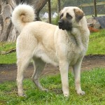 Anatolian Shepherd is a breed of dog - 242615