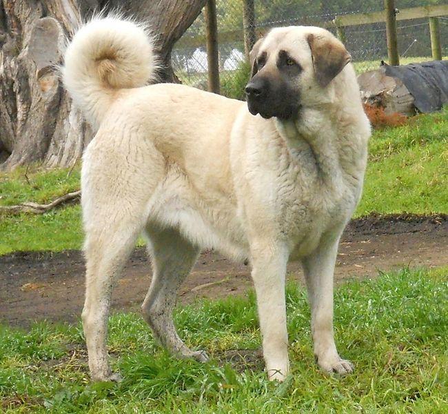 Anatolian Shepherd is a breed of dog