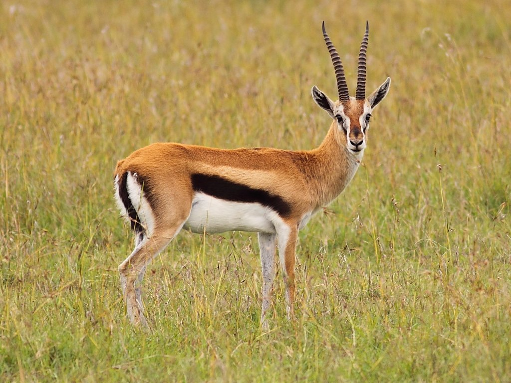 Antelope are graceful animals