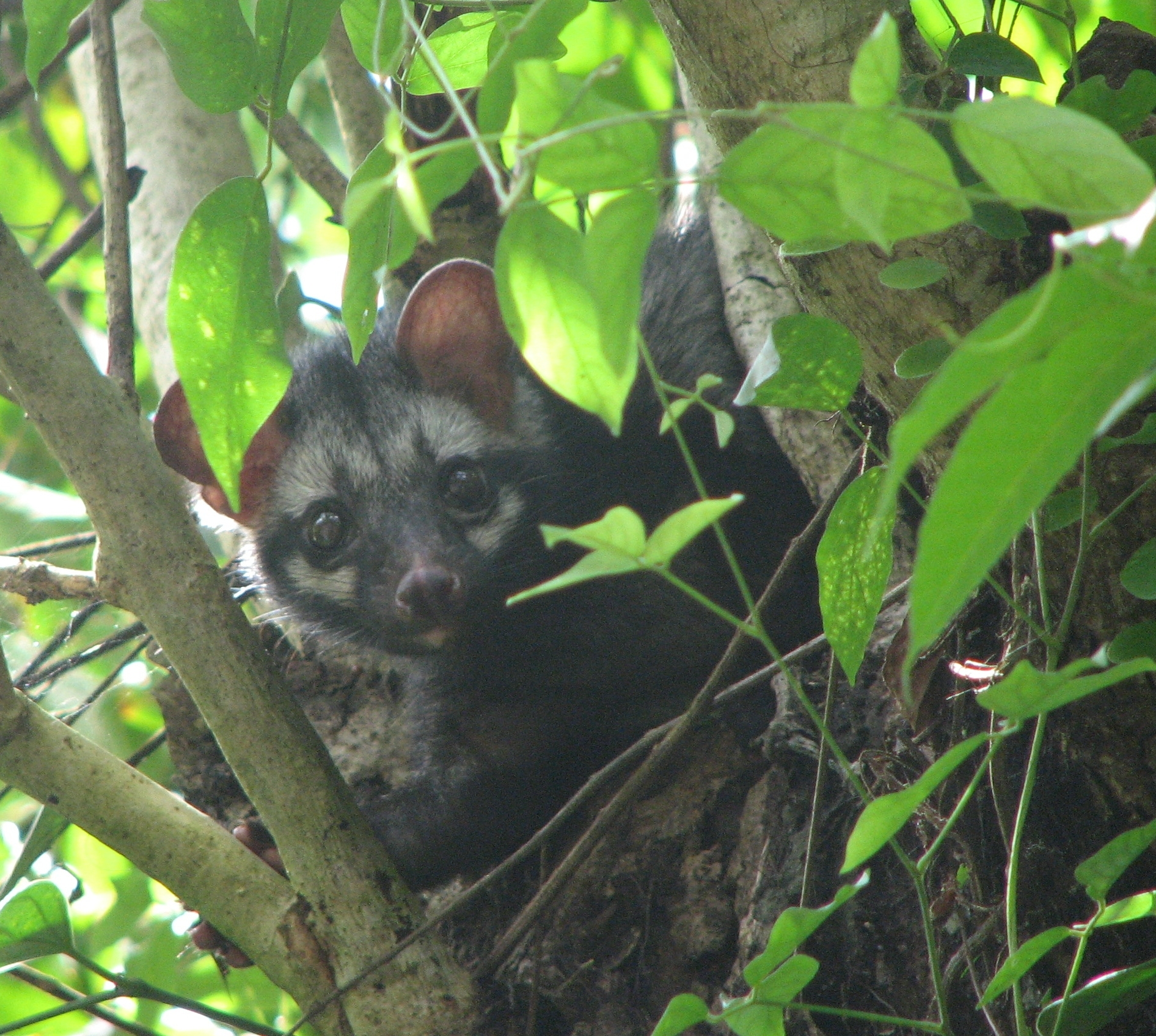 Asian palm civets are believed to lead a solitary lifestyle