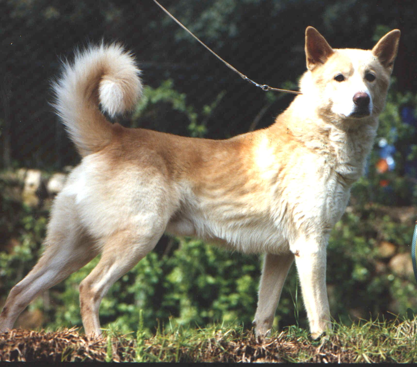 Canaan dog excel