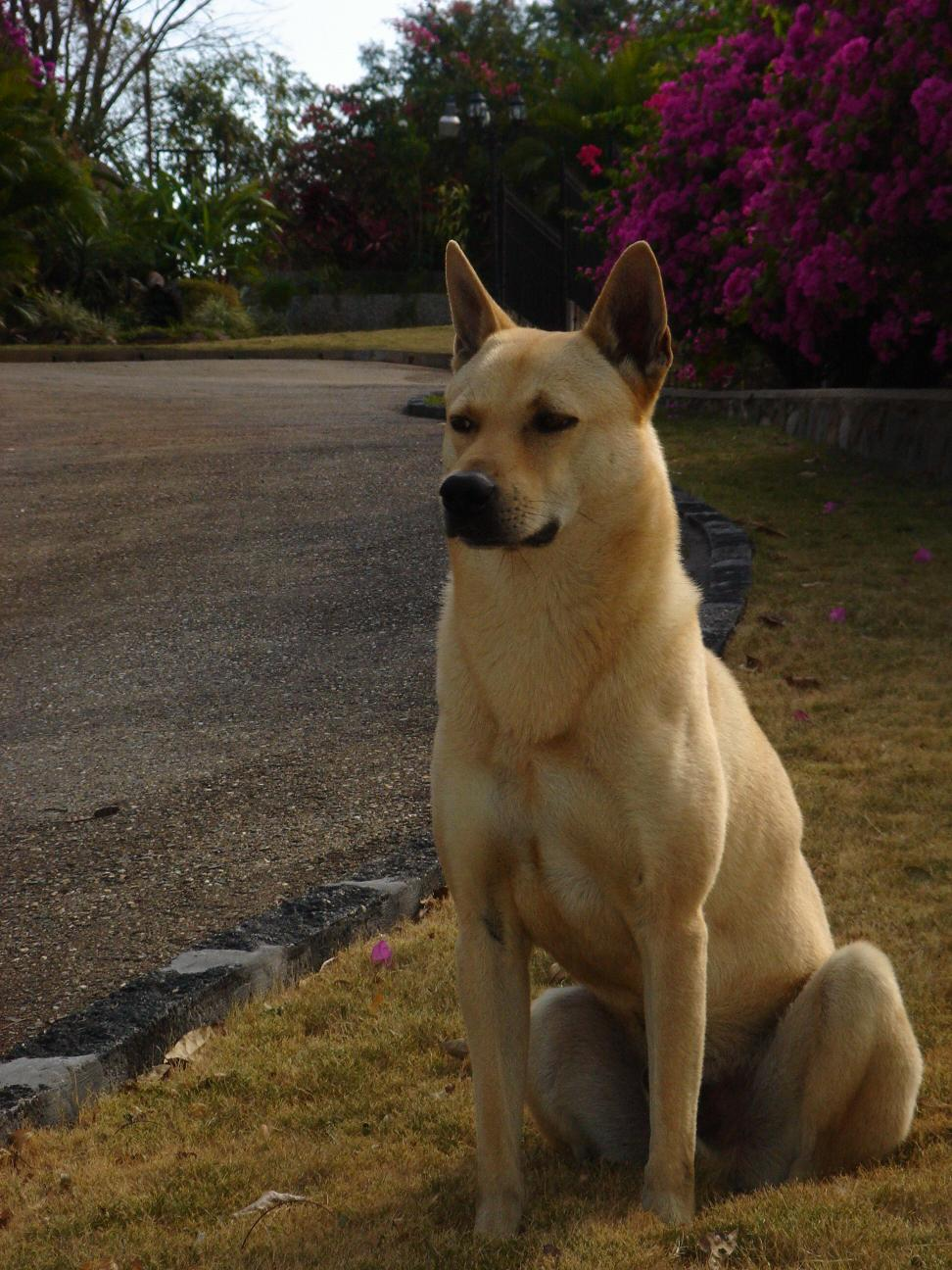 Canaan dog is a breed of pariah dog