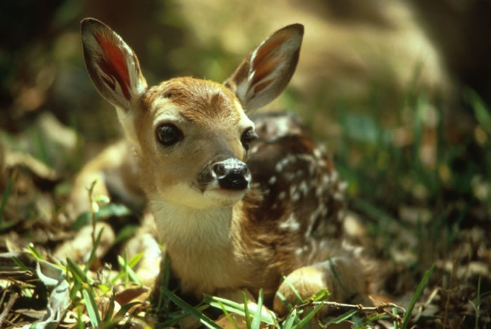 Deer are among the most familiar animals