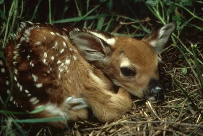Deer eat up to five hundred different plants