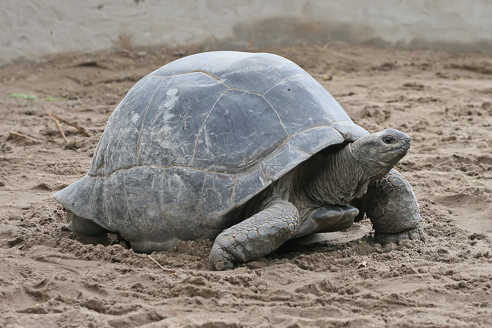 The Aldabra giant tortoise lives on the remote Aldabra atoll