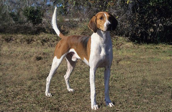American Foxhound is directly descended from English hounds brought to America