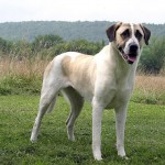 The Anatolian Shepherd Dog - 242622