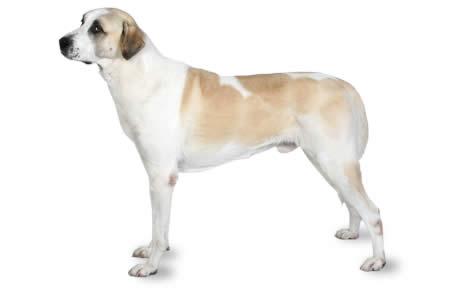 كلب الراعي الاناضول Quot كلب الحراسة التركي Quot المرسال