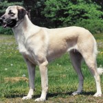 The Anatolian Shepherd is native to Asia Minor - 242623