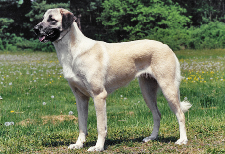 The Anatolian Shepherd is native to Asia Minor