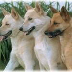 معلومات عن كلاب كنعاني