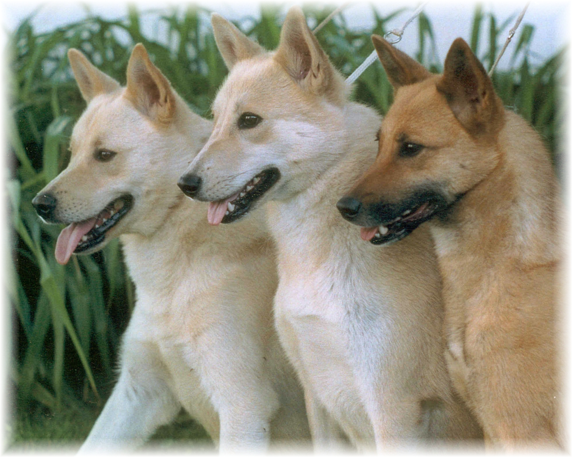 The Canaan Dog is a pariah dog type that is naturally alert