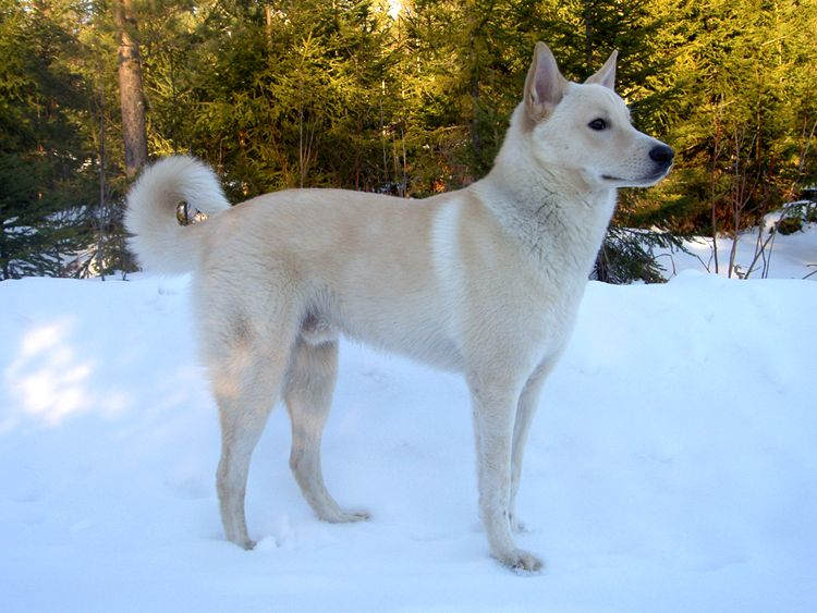 The Canaan Dog originated in the 1930s