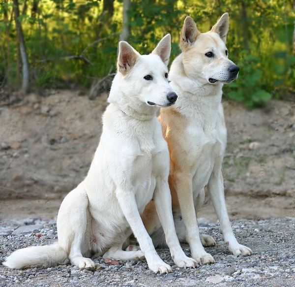 The Canaan dog is a typical primitive dog