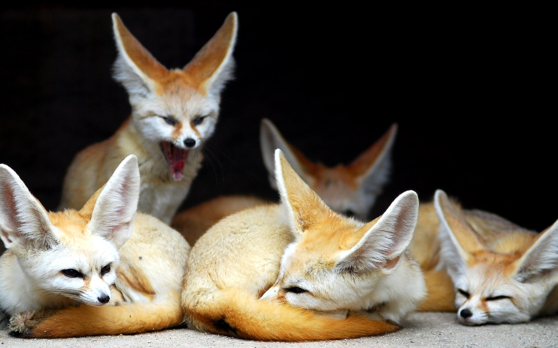 The-fennec-fox-is-the-smallest-of-all-th