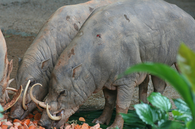 The four species of babirusa possess exceedingly bizarre