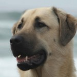 anatolian shepherd is able to run down - 242616