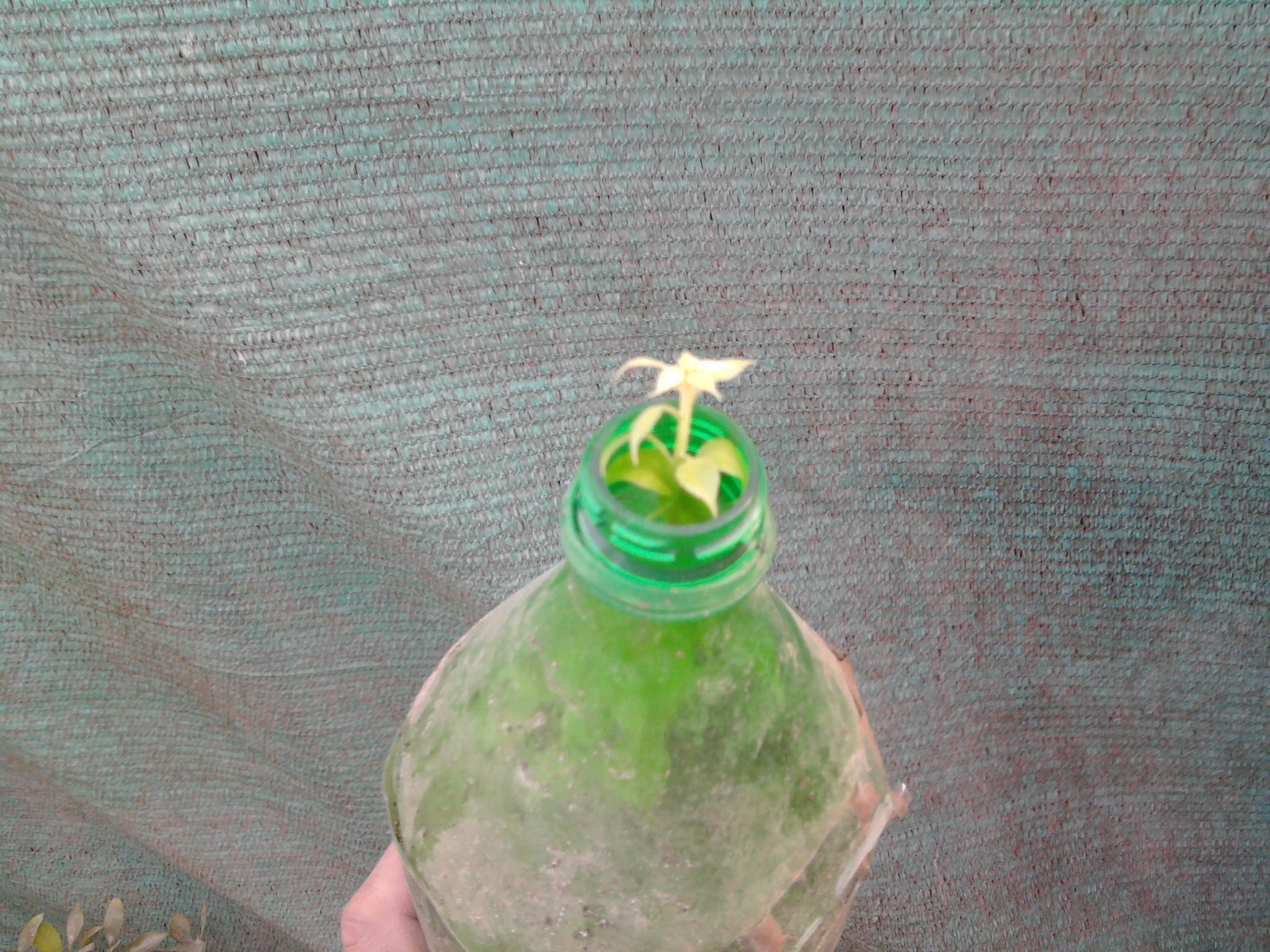 طريقة زراعة ازهار الجهنمية Bougainvillea