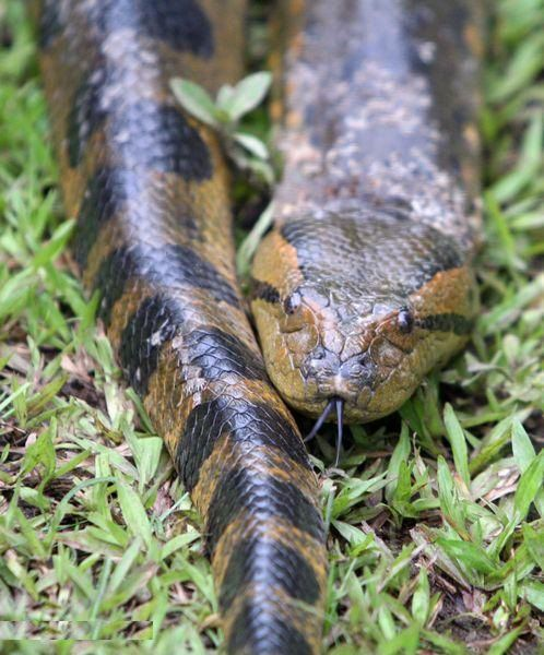 Green anacondas are found in South America