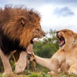 Lions consume a wide variety of prey - 252523