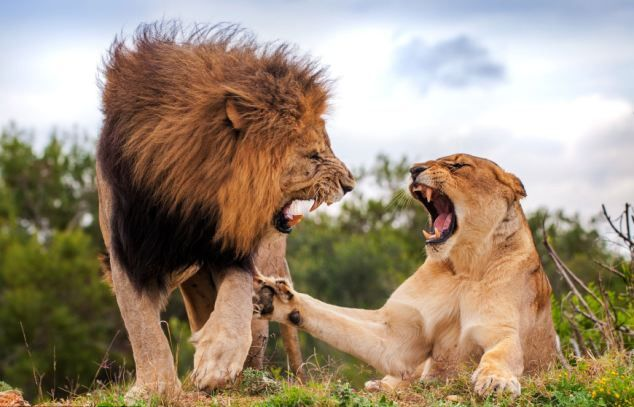 Lions consume a wide variety of prey