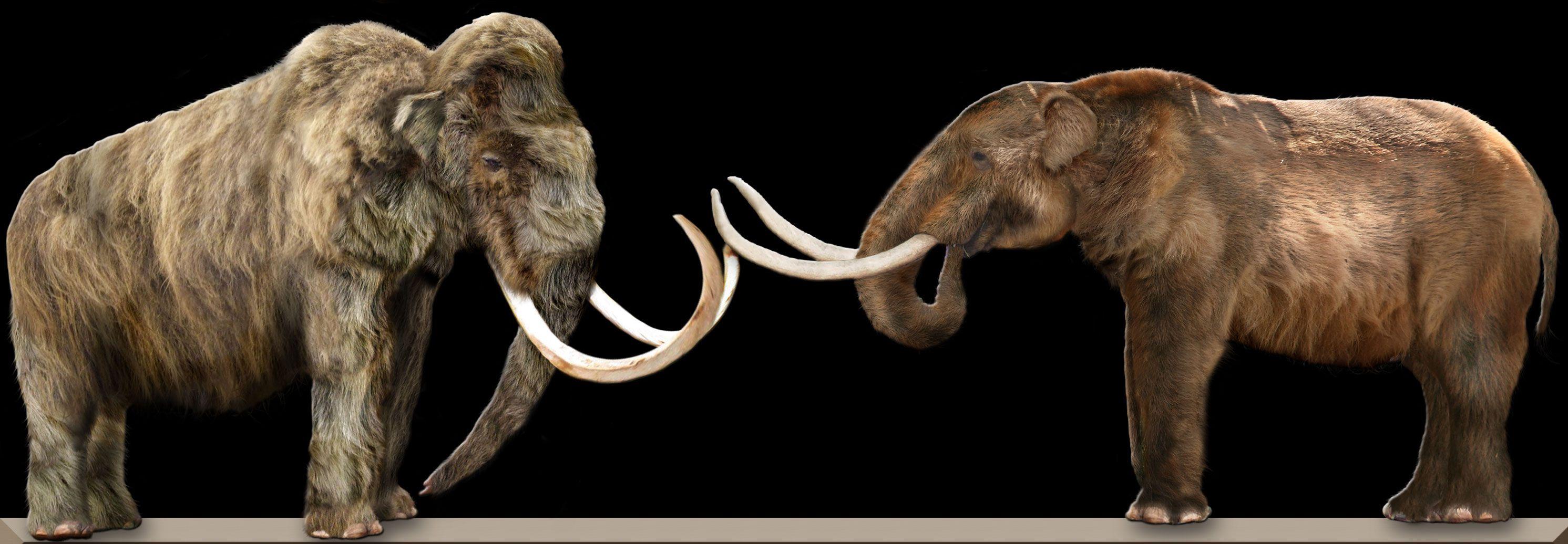 الماموث هو نوع من الثدييات الضخمة والتابعة لنظام الفيليات