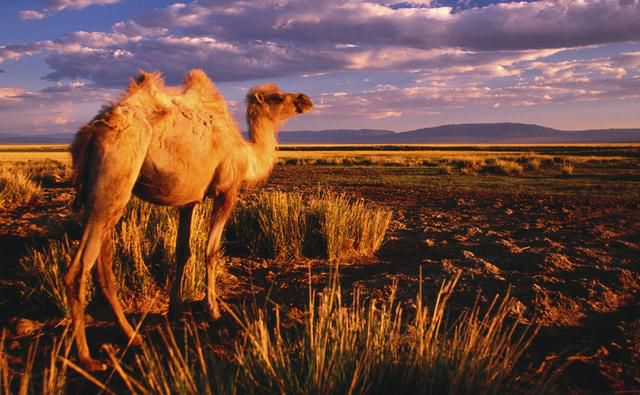 The Bactrian camel