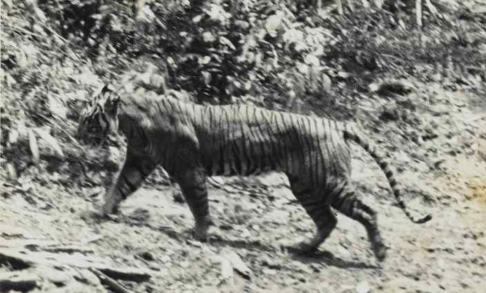 The Javan tiger