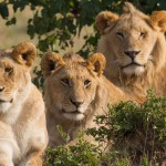 Two males and a female lion. - 252526