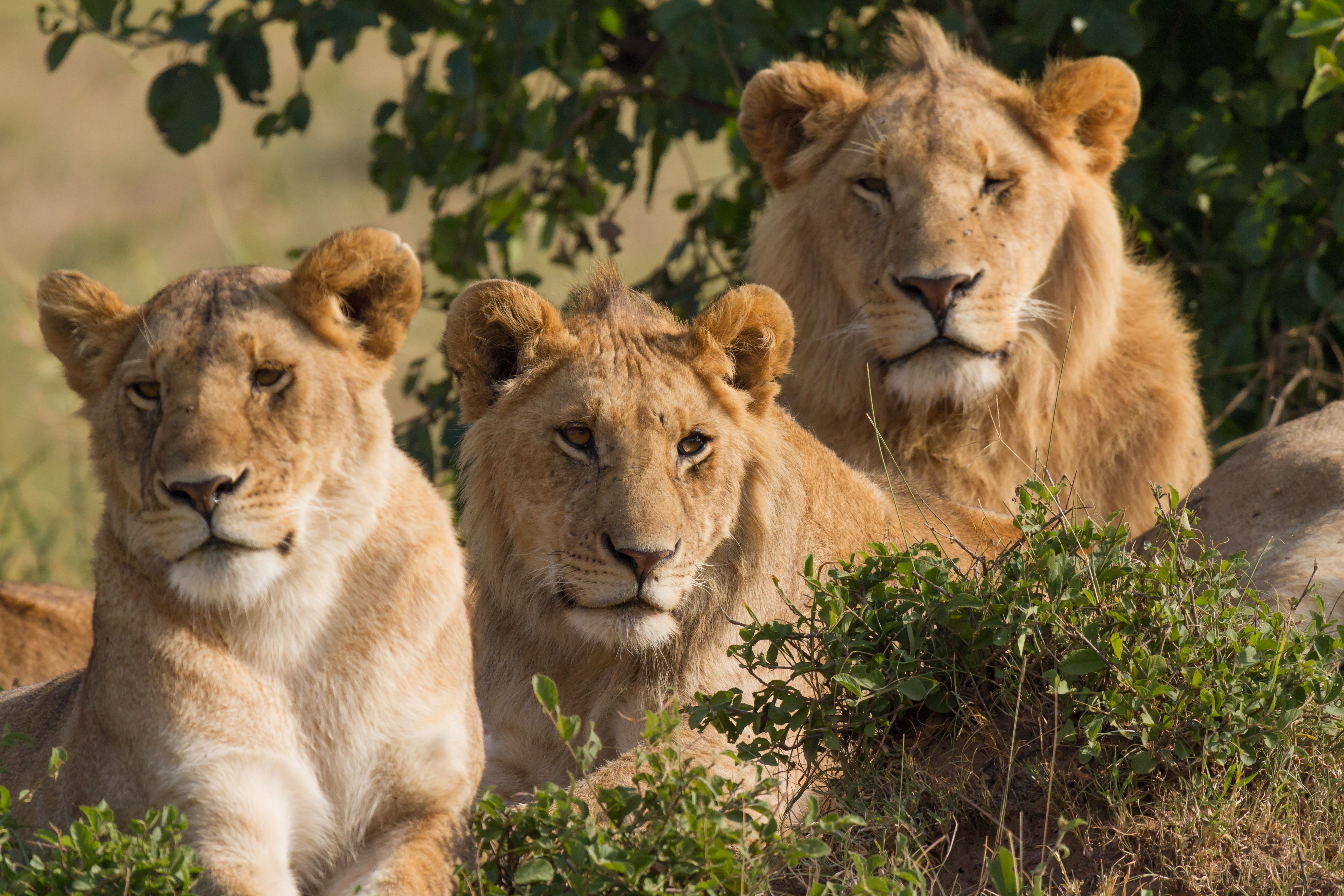 Two males and a female lion. اجمل صور للأسد    Photos of the Lion