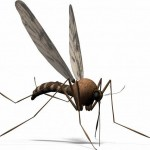 the mosquito carries deadly diseases with it, such as malaria and so is the most dangerous animal in the rainforest - 251847
